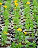 Muchas plantas amarillas jovenes de la flor en potes Imagen de archivo libre de regalías