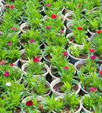 Muchas plantas de la flor de los jóvenes en potes Imágenes de archivo libres de regalías