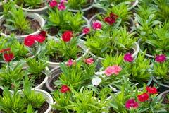 Muchas plantas de la flor del rojo en potes Imagen de archivo