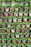 Muchas plantas de la flor en potes Fotos de archivo