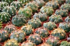 Plantas suculentas al mercado de la flor, foco selectivo Imágenes de archivo libres de regalías