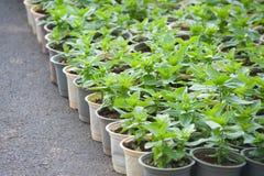 Muchas plantas jovenes de la flor en potes Foto de archivo