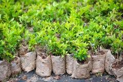 Muchas plantas jovenes del arbusto en paquetes Imagen de archivo libre de regalías