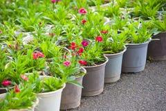 Muchas plantas rojas jovenes de la flor en potes Fotos de archivo