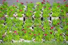 Muchas plantas rojas jovenes de la flor en potes Foto de archivo libre de regalías