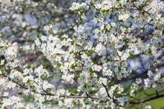 Muchas ramas florecientes de la cereza fotos de archivo libres de regalías