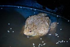 Muchas ranas se encuentran en una charca en una granja de la rana Imágenes de archivo libres de regalías