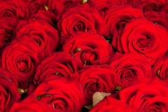 Muchas rosas rojas foto de archivo libre de regalías