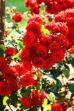 Muchas rosas rojas fotografía de archivo