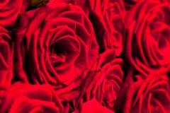 Muchas rosas rojas fotos de archivo