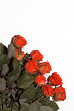 Muchas rosas rojas en un fondo blanco Fotografía de archivo libre de regalías
