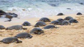 Muchas tortugas de mar que se adelantan a la orilla rocosa arenosa imagen de archivo libre de regalías