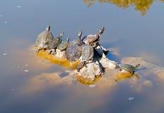Muchas tortugas que toman el sol en el sol Imagen de archivo libre de regalías