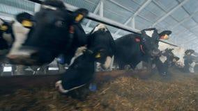 Muchas vacas están comiendo el forraje en el establo almacen de metraje de vídeo