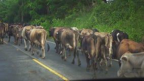 Muchas vacas están en el camino durante una lluvia ligera metrajes