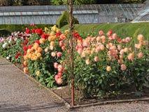 Muchas variedades de dalia que crecen en un jardín inglés del país imagenes de archivo