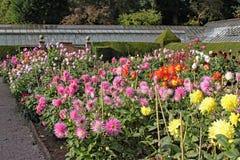 Muchas variedades de dalia que crecen en un jardín inglés del país foto de archivo