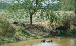 Muchedumbre de búfalo de agua que vadea y que se refresca abajo en la charca Fotografía de archivo