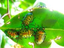 Muchedumbre de escarabajos en una hoja Fotos de archivo libres de regalías
