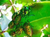 Muchedumbre de escarabajos en una hoja Foto de archivo