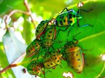 Muchedumbre de escarabajos en una hoja Imagen de archivo