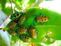 Muchedumbre de escarabajos en una hoja Imagen de archivo libre de regalías
