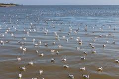 Muchedumbre de gaviota que flota en el mar Imagenes de archivo