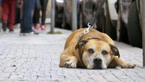 Muchedumbre de gente indiferente en el paso de la calle por el perro fiel triste, atado almacen de video