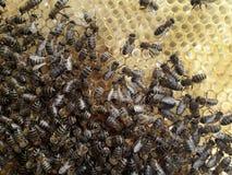Muchedumbre de las abejas en los panales nuevamente construidos Imágenes de archivo libres de regalías