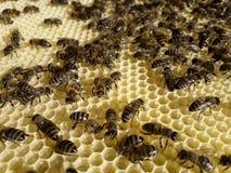 Muchedumbre de las abejas en los panales nuevamente construidos Fotografía de archivo libre de regalías