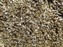Muchedumbre de las abejas en los panales nuevamente construidos Fotos de archivo