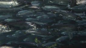 Muchedumbre de los salmones de Masu almacen de video