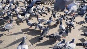 Muchedumbre de paloma en la calle que camina en Bangkok, Tailandia existencias El grupo de palomas lucha encima para la comida, m metrajes