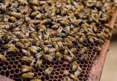 Mucho abeja en colmena Imagenes de archivo