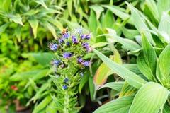 Mucho abeja que se sienta en el brote azul de la macro de la flor Imagen de archivo libre de regalías
