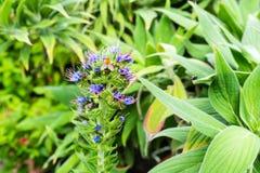 Mucho abeja que se sienta en el brote azul de la macro de la flor Imagenes de archivo