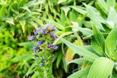 Mucho abeja que se sienta en el brote azul de la macro de la flor Imágenes de archivo libres de regalías