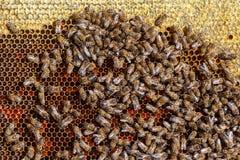 Mucho arrastre en los panales, primer de las abejas Fotos de archivo libres de regalías