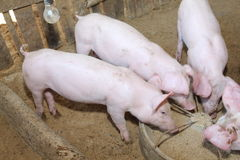 Mucho cerdo blanco alimentado en la granja Fotografía de archivo