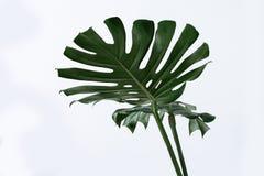 Mucho diverso verde tropical blanco de la textura deja a fondo del modelo la postal natural de la bella arte monstera fresco del  imagenes de archivo