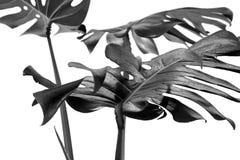 Mucho diverso verde tropical blanco de la textura deja a modelo el fondo negro postal natural de la bella arte monstera fresco de imágenes de archivo libres de regalías