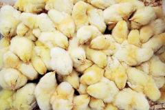Mucho el amarillo chiken Foto de archivo libre de regalías