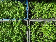 Mucho el girasol verde fresco brota el crecimiento en la cesta Foto de archivo libre de regalías