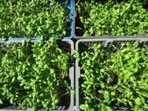 Mucho el girasol verde fresco brota el crecimiento en la cesta Fotos de archivo libres de regalías