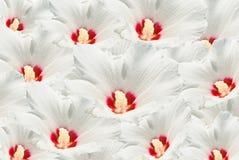 Mucho flor blanca Fotos de archivo libres de regalías