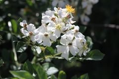 Mucho-florecido subió, el japonés subió, multiflora de Rosa Fotografía de archivo libre de regalías