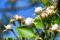 Mucho florecimiento florece en el manzano en la primavera Foto de archivo