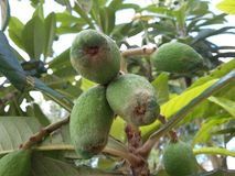 Mucho fruta verde del loquat en la estación de primavera Fotografía de archivo