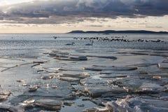 Mucho invierno de los patos en el lago, la costa cubierta con cr Foto de archivo