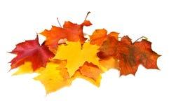 Mucho la caída del arce coloreó las hojas Imagen de archivo